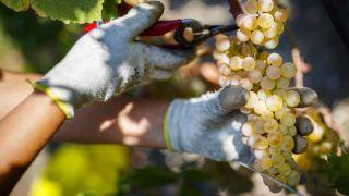 """Puidoux, 2018. szeptember 25.Saszla szőlőt szüretelnek a lavaux-i szőlőültetvényeken a nyugat-svájci Puidoux-ban 2018. szeptember 20-án. A Genfi-tó északi partja mentén 898 hektáron elterülő, lavaux-i teraszos művelésű szőlőskertek 2007-ben kerültek fel az UNESCO kulturális világörökségének jegyzékére. Az itt termő legismertebb szőlőfajta a saszla. A borvidéket a """"három nap"""" régiójának is hívják, mivel a szőlőtermesztéshez szükséges napfény és meleg három helyről érkezik, az égből, a tó felszínéről és a teraszokat tartó kőfalakból. (MTI/EPA/Valentin Flauraud)"""