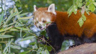 Red or lesser panda (Ailurus fulgens) eating bamboo