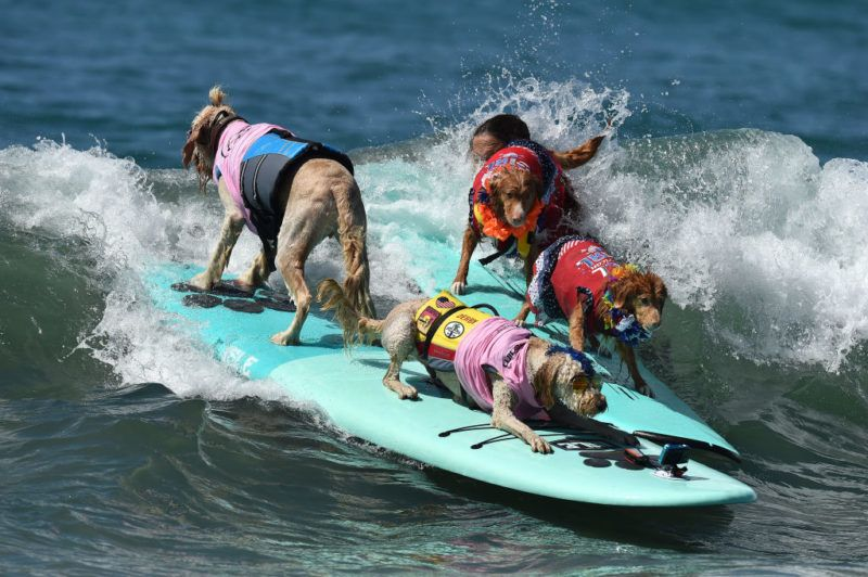 HUNTINGTON BEACH, CA - SEPTEMBER 23:  Surf Dog competes in the 9th Annual Surf City Surf Dog competition on September 23, 2017 in Huntington Beach, California.  (Photo by Axelle/Bauer-Griffin/FilmMagic)