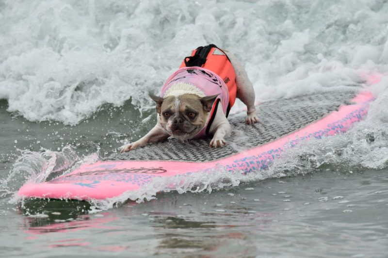 HUNTINGTON BEACH, CA - SEPTEMBER 29:  Surf Dog competes in the 10th Annual Surf City Surf Dog competition on September 29, 2018 in Huntington Beach, California.  (Photo by Axelle/Bauer-Griffin/FilmMagic)