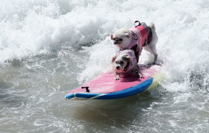 HUNTINGTON BEACH, CA - SEPTEMBER 29:  Surf dogs compete at the 10th annual Surf City Surf Dog contest on September 29, 2018 in Huntington Beach, California.  (Photo by Sarah Morris/Getty Images)