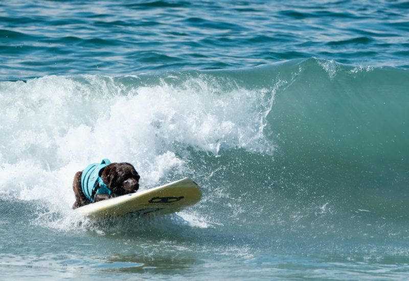 HUNTINGTON BEACH, CA - SEPTEMBER 29:  A surf dog competes at the 10th annual Surf City Surf Dog contest on September 29, 2018 in Huntington Beach, California.  (Photo by Sarah Morris/Getty Images)