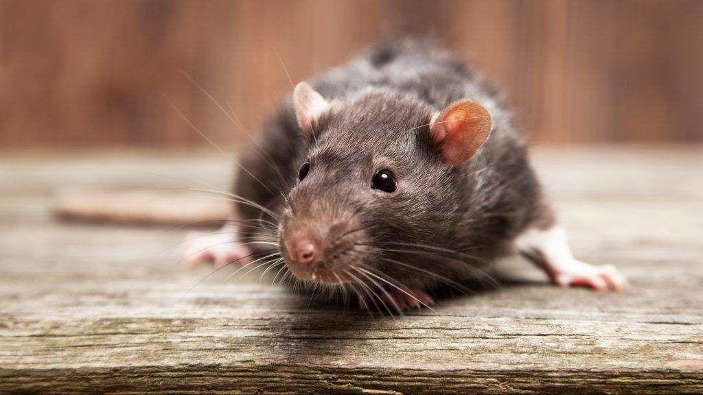 patkány öninvázió)
