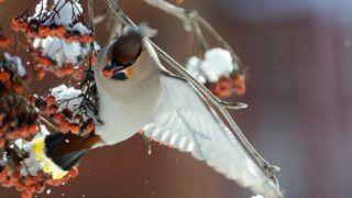 Flapping wings Waxwing (Bombycilla garrulus) at  rowan-tree. Moscow region, Russia