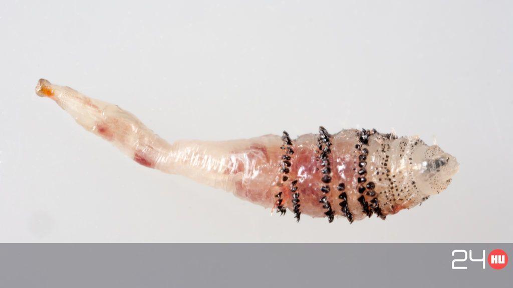 kézi bőr paraziták