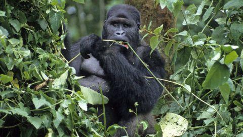 Gorilla gorilla beringei / Gorille de montagne / Mountain Gorilla ©AlainGuerrier/HorizonFeatures/Leemage