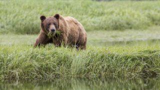 Grizzly (Ursus arctos horribilis) feeding on Lingby's Sedge, Khutzeymateen Grizzly Bear Sanctuary, British Columbia, Canada.    Biosphoto / Patrick Pons