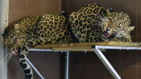 Jászberény, 2013. december 27. A jászberényi állatkert perzsa leopárdjai új lakóhelyükön 2013. december 27-én. Az 50 négyzetméteres épület mellett megszépült az állatok külsõ kifutója is. A perzsa leopárd a vadonban élõ legnagyobb termetû és egyben az egyik legritkább alfaj, amelybõl egyes kutatók szerint a természetes élõhelyükön már csak 300 egyed él. MTI Fotó: Mészáros János