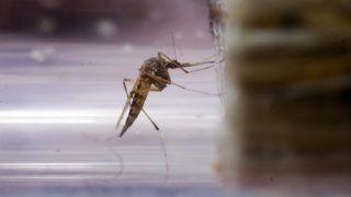 Balatonmáriafürdő, 2011. július 27.Egy biológus elkábított szúnyogokat vizsgál egy üvegcsőben Balatonmáriafürdő és az M7-es autópálya közötti területen. A szakember a Balatoni Szövetség megbízásából végzi a szúnyogtenyésző hely ellenőrzését. A nyár első felében uralkodó száraz, csapadékmentes és nagyon meleg időjárás miatt jelenleg kevesebb szúnyog van a vízpartokon, valamint a lápos és mocsaras területeken, ezért irtani sem kellett annyit, mint a korábbi években.MTI Fotó: Varga György