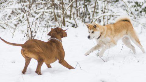 Nyíregyháza, 2014. január 23. Kutyák játszanak a hóval borított sóstói erdõben, Nyíregyházán 2014. január 23-án. MTI Fotó: Balázs Attila