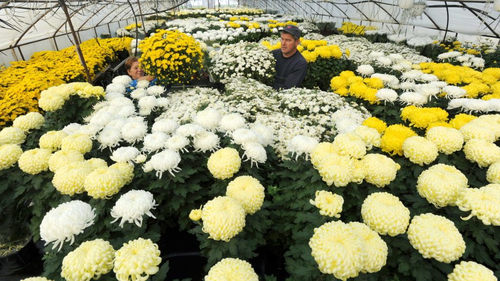 Boldog, 2011. október 27. Tóth Józsefné és Petrovics Zsolt õstermelõ krizantémokat csomagol egy fóliasátorban, a Heves megyei Boldogon. Halottak és mindenszentek napja közeledtével megélénkül a forgalom az ország virágkereskedéseiben. Sok kertészet már hónapokkal korábban felkészül a kegyeleti emléknapokra, de nem ritka az sem, hogy vállalkozások kizárólag erre az idõszakra termesztenek virágot, fõként az ilyenkor leginkább kedvelt krizantémot, így az árak a mennyiséggel együtt már eleve tervezettek. MTI Fotó: H. Szabó Sándor