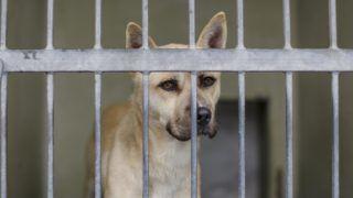 Budapest, 2018. október 31. Kutya egy kennelben a Fõvárosi Önkormányzati Rendészeti Igazgatóság Állategészségügyi Szolgálatának Illatos úti telepén 2018. október 30-án. A szolgálatnál megpróbálnak új gazdát taláni, ennek érdekében szocializálják a kutyákat. A bekerülõ állatokat beoltják, ivartalanítják és gyógyítják, valamint mikrochippel is megjelölik. Az örökbefogadási folyamatban nagyon figyelnek arra is, hogy kinek adják a kutyát. Ha az összeszoktatási idõ ellenére is kudarcba fullad az örökbefogadás, akkor visszafogadják az ebet, semhogy az utcára kerüljön újra. Hetente jó pár kutyát adnak örökbe, de még így is szinte mindig teltház van a száz férõhelyes telepen. MTI/Mohai Balázs