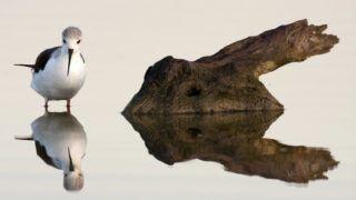 Black-winged Stilt and its reflection - Brazo del Este Spain.    Biosphoto / Oscar Diez