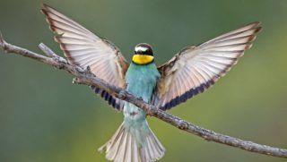 Lambsheim, 2017. május 30. Gyurgyalag (Merops apiaster) csapkod a szárnyával egy ágon az észak-németországi Lambsheim település közelében 2017. május 29-én. A méhészmadár néven is ismert gyurgyalag nyaranta előszeretettel költ északnyugat-németország egyes részein, az utóbbi pár évben Észak-Rajna-Vesztfália tartományban legkevesebb 239 fészkelő párt tartanak számon. (MTI/EPA/Ronald Wittek)