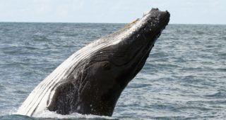 Bahia, 2018. július 31. 2018. július 31-én közreadott kép egy hosszúszárnyú bálnáról vagy púpos bálnáról az Albrolhos szigeteknél a brazíliai Bahia államban július 25-én. Mintegy húszezer bálna érkezik július és november között a vándorlásuk során a brazil partvidék mérsékelt és tiszta vizeihez. (MTI/EPA/Joedson Alves)
