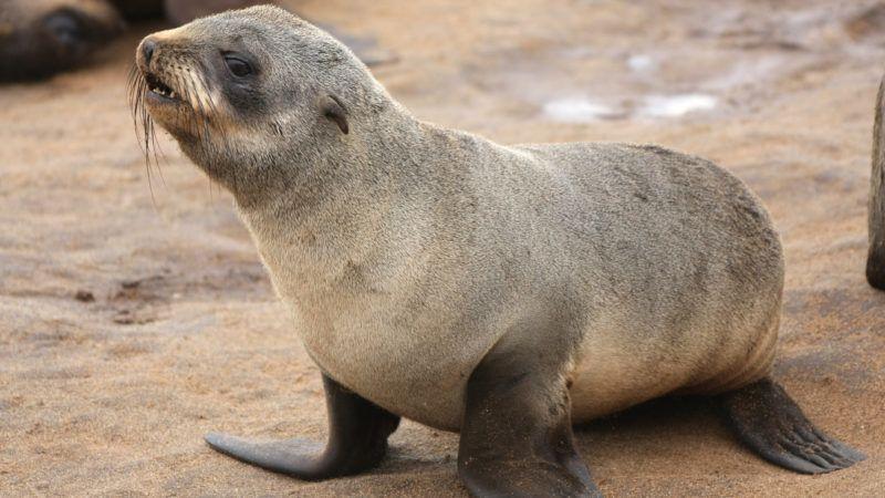 cape fur seal (brown fur seal) at cape cross, skeleton coast - Namibia