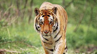 Up close with a Bengal Tiger.