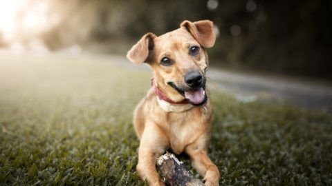 Portrait of a cute mutt dog playing with a stick.