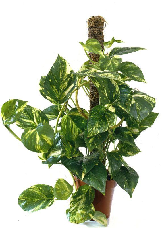 Scindapsus aureus / Epipremnum aureum / Pothos dore / Lierre du Diable / Devil's Ivy / Golden Pothos ©VIARD M./HorizonFeatures/Leemage