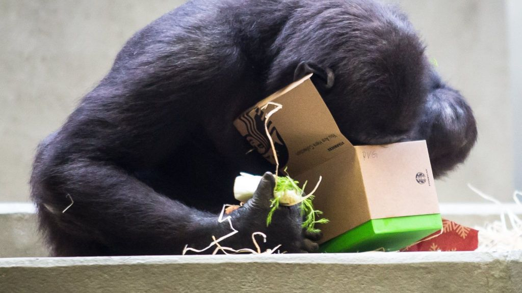 25 December 2018, Baden-Wuerttemberg, Stuttgart: On Christmas Day, a Wilhelma gorilla looks into a Christmas package that the gorillas have received as a gift. The packages packed by visitors to Wilhelma contain wood wool, nuts and raisins. Photo: Christoph Schmidt/dpa