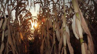 Debrecen, 2015. augusztus 16.Aszály sújtja az Agrárgazdaság Kft. kukorica ültetvényét. Hajdú Bihar megyében súlyos terméskiesést okoz az aszály a kukoricatáblákban, vannak helyek ahol az áprilisi vetés óta mindössze 20 mm eső érte a növényeket. A sorok között megrekkenő levegő elérheti az 50 fokos meleget, ami lehetetlenné teszi csövek fejlődését.MTVA/Bizományosi: Oláh Tibor ***************************Kedves Felhasználó!Az Ön által most kiválasztott fénykép nem képezi az MTI fotókiadásának, valamint az MTVA fotóarchívumának szerves részét. A kép tartalmáért és a szövegért a fotó készítője vállalja a felelősséget.