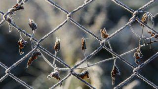Zabar, 2018. szeptember 26. Deres növény Zabar közelében 2018. szeptember 26-án. Az Országos Meteorológiai Szolgálat közlése szerint elkezdõdött a fagyszezon. Szeptember 26-ra virradóra országos átlagban 1,5 Celsius-fok körül alakult a minimum, amely több mint 8 fokkal alacsonyabb az ilyenkor szokásosnál, a reggeli értékek november közepének felelnek meg. A Nógrád megyei településen mínusz 4,1 fokig csökkent a hõmérséklet. MTI Fotó: Komka Péter