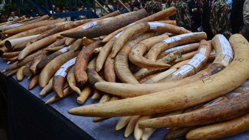 A pile of illegal ivory is pictured during a campaign to destroy over 2 tonnes of illegal ivory at the Department of National Parks, Wildlife and Plant Conservation in Bangkok, Thailand on August 26, 2015. (Photo by Wasawat Lukharang/NurPhoto) (Photo by NurPhoto/NurPhoto via Getty Images)