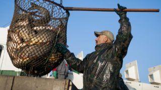 Hortobágy község, 2013. október 22. Kifogott halak a Hortobágyi Halgazdaság Zrt. Árkus tóegységének csécsi tavánál 2013. október 22-én. Megkezdõdött az õszi lehalászás a halgazdaság halastavain, ahol a két hónapig tartó hálóvetés során 1000 tonna pontyot, 300 tonna busát és 100 tonna egyéb halat, fõként harcsát és amurt fognak ki. MTI Fotó: Czeglédi Zsolt