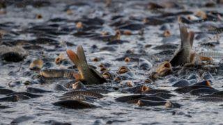 Trebon, 2018. október 15. Megkezdik a ponty lehalászását a dél-csehországi Trebon közelében 317 hektáron elterülõ Velky Tisy-tavon 2018. október 15-én. (MTI/EPA/Martin Divisek)