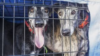 Spanish greyhound at car dog crate looking out. Closeup