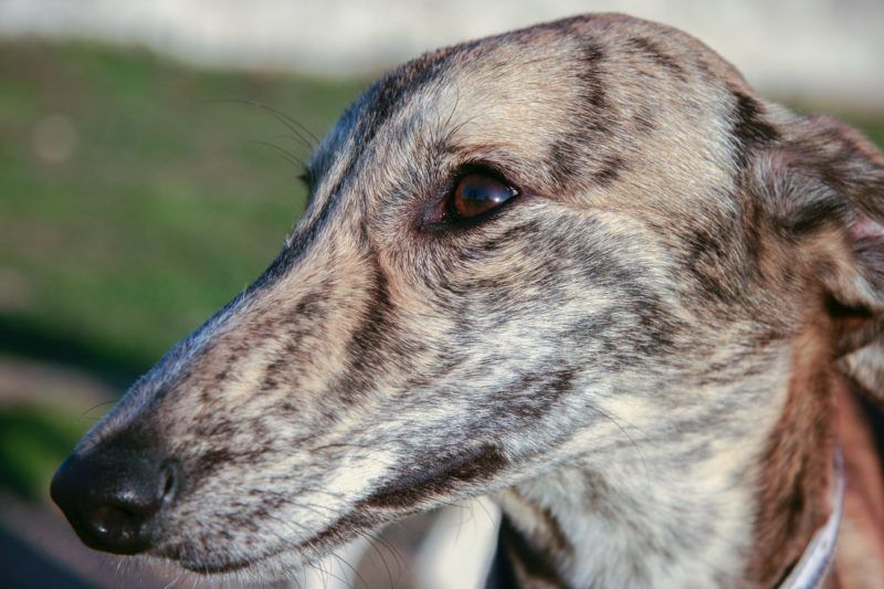 Beautiful young spanish greyhound also called in Spain Galgo. Portrait of striped dog