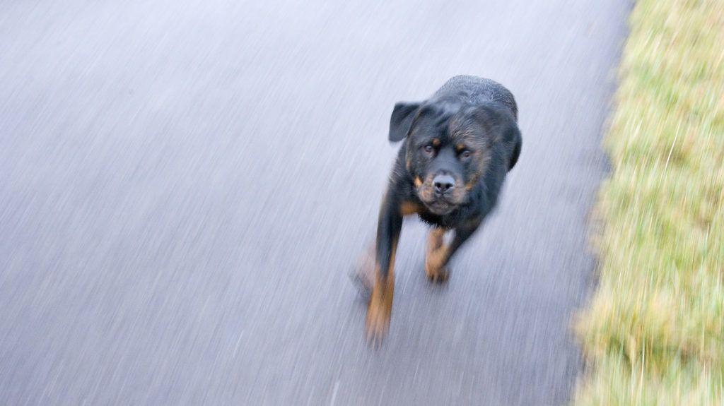 Rottweiler dog running on the way France .  Biosphoto / Claudius Thiriet