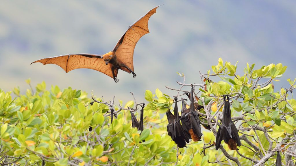 Large Flying-fox on tree - Kalimantan Indonesia .Biosphoto / Claude Balcaen