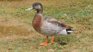 """This handout photo taken in 2018 and released courtesy of Rae Finlay, the chief executive of the Niue Chamber of Commerce, to AFP on January 28, 2019 shows Trevor the duck on the Pacific island of Niue. - The lone duck named Trevor that lived on the tiny Pacific island nation of Niue has died, officials said on January 28, 2019, sparking an outpouring of grief from as far away as New Zealand. The celebrity mallard found fame last year after a visiting journalist from New Zealand discovered that his makeshift home, near a puddle, was used for directions. (Photo by Handout / Courtesy of Rae Finlay / AFP) / -----EDITORS NOTE --- RESTRICTED TO EDITORIAL USE - MANDATORY CREDIT """"AFP PHOTO / Courtesy of Rae Finlay"""" - NO MARKETING - NO ADVERTISING CAMPAIGNS - DISTRIBUTED AS A SERVICE TO CLIENTS - NO ARCHIVES"""