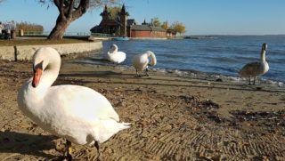Keszthely, 2018. november 17. Bütykös hattyúk (Cygnus olor) szárítkoznak őszi napsütésben a Balaton-parton. Mögöttük a keszthelyi Szigetfürdő tóba telepített érdekes épülete. MTVA/Bizományosi: Jászai Csaba  *************************** Kedves Felhasználó! Ez a fotó nem a Duna Médiaszolgáltató Zrt./MTI által készített és kiadott fényképfelvétel, így harmadik személy által támasztott bárminemű – különösen szerzői jogi, szomszédos jogi és személyiségi jogi – igényért a fotó készítője közvetlenül maga áll helyt, az MTVA felelőssége e körben kizárt.