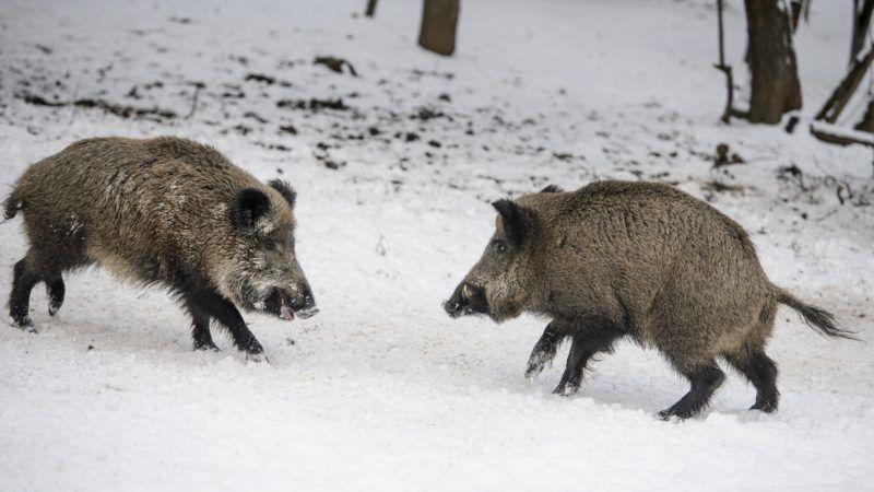 Salgótarján, 2019. január 6. Vaddisznók az Ipoly Erdõ Zrt. somoskõi vadasparkjában Salgótarján közelében 2019. január 6-án. MTI/Komka Péter