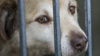 Budapest, 2018. október 31.Kutya egy kennelben a Fővárosi Önkormányzati Rendészeti Igazgatóság Állategészségügyi Szolgálatának Illatos úti telepén 2018. október 30-án. A szolgálatnál megpróbálnak új gazdát taláni, ennek érdekében szocializálják a kutyákat. A bekerülő állatokat beoltják, ivartalanítják és gyógyítják, valamint mikrochippel is megjelölik. Az örökbefogadási folyamatban nagyon figyelnek arra is, hogy kinek adják a kutyát. Ha az összeszoktatási idő ellenére is kudarcba fullad az örökbefogadás, akkor visszafogadják az ebet, semhogy az utcára kerüljön újra. Hetente jó pár kutyát adnak örökbe, de még így is szinte mindig teltház van a száz férőhelyes telepen.MTI/Mohai Balázs