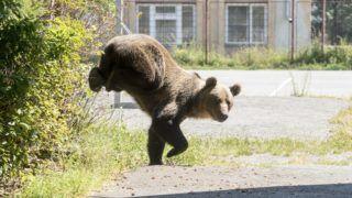 Csíkszereda, 2018. augusztus 21. Hím barna medve (Ursus arctos) a csíkszeredai Octavian Goga Fõgimnázium udvarán 2018. augusztus 21-én. A medve a reggeli órákban több közeli ház udvarába is betört, egy kecskét is megölt. Az állatot az iskola udvarán kilõtték. MTI Fotó: Veres Nándor