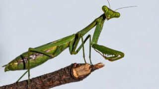 Green European Mantis standing on a wood stick Macro Closeup