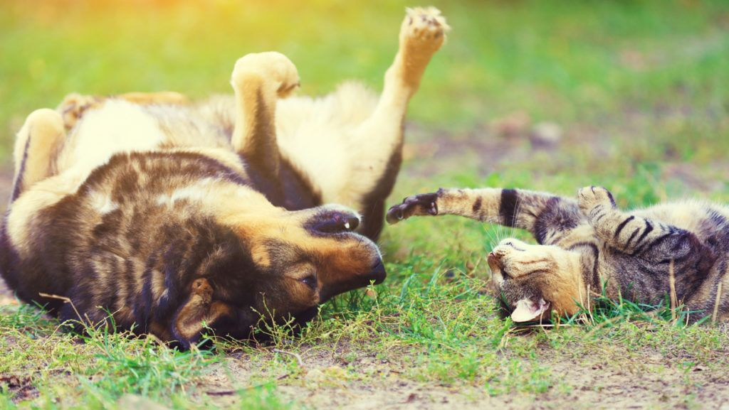 Dog and cat best friends playing together outdoor. Lying on the back on the grass.