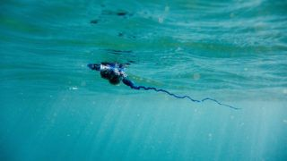 Under water view of Blue bottle, Physalia, Portuguese man-of-war