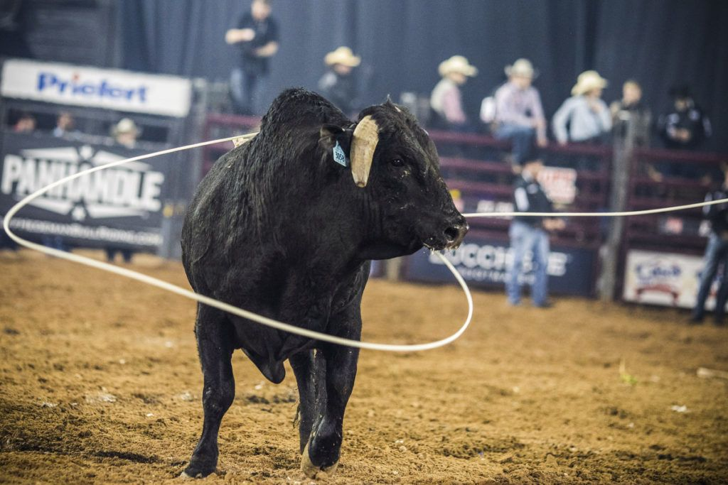 A bull gets roped after bucking off its rider at the El Paso County Colosseum, on February 16, 2019, during the Tuff Hedeman Bull Riding Tour. - About 25 riders competed for about $30,000 in prize money for this Tuff Hedeman Bull Riding Tour stage named after the four time bull riding world champion who grew up in El Paso, Texas. (Photo by PAUL RATJE / AFP)