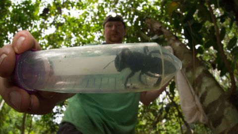 """This undated handout picture provided by Global Wildlife Conservation on February 21, 2019, shows entomologist and bee expert Eli Wyman with the first rediscovered individual of Wallace's giant bee (Megachile pluto) in the Indonesian islands of the North Moluccas. - The world's largest bee -- roughly the size of a human thumb -- has been rediscovered in a remote part of Indonesia in its first sighting in nearly 40 years, researchers said on February 21, 2019. Despite its conspicuous size, no one had observed Wallace's giant bee -- discovered in the 19th century by British naturalist Alfred Russel Wallace and nicknamed the """"flying bulldog"""" -- in the wild since 1981, the Global Wildlife Conservation said. (Photo by CLAY BOLT / Global Wildlife Conservation / AFP) / RESTRICTED TO EDITORIAL USE - MANDATORY CREDIT """"AFP PHOTO / GLOBAL WILDLIFE CONSERVATION / CLAY BOLT"""" - NO MARKETING - NO ADVERTISING CAMPAIGNS - DISTRIBUTED AS A SERVICE TO CLIENTS - NO ARCHIVES"""