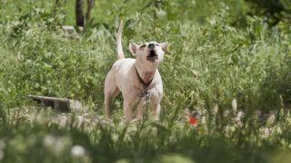 Watchdog barking Pitbull - Fez Morocco.Biosphoto / Laurent Rebelle