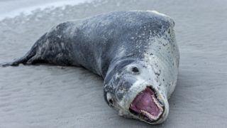 SAUNDERS ISLAND   THE NECK  Leopard Seal on sandy shore - Falkland Islands .    Biosphoto / Sylvain Cordier