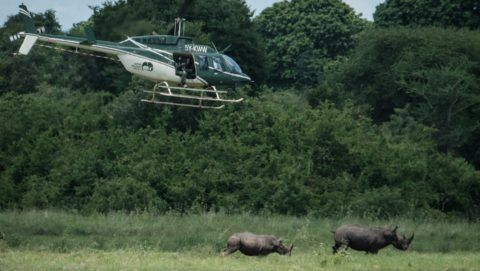 A Kenya Wildlife Services (KWS) ranger tries to shoot tranquilizer to Southern white rhinos from a helicopter during their rhino ear notching exercise for identification at Meru National Park, 350 km from Nairobi, Kenya, on April 5, 2018. (Photo by Yasuyoshi CHIBA / AFP)