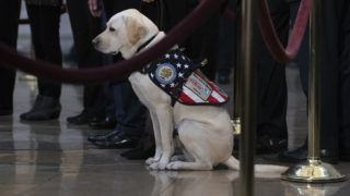 Sully, the service dog is seen as people pay respects, as the remains of former US President George H. W. Bush lie in state in the US Capitol's rotunda December 4, 2018 in Washington, DC. - The body of the late former President George H.W. Bush travelled from Houston to Washington, where he will lie in state at the US Capitol through Wednesday morning. Bush, who died on November 30, will return to Houston for his funeral on Thursday. (Photo by Alex Edelman / AFP)