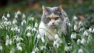 "24 February 2019, North Rhine-Westphalia, Dortmund: The cat ""Mirabelle"" sneaks through snowdrops in the garden. Photo: Ina Fassbender/dpa"