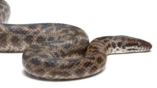 LA FERME TROPICALE 54, RUE JENNER 75013 PARIS Spotted Python on white background. Origin: Australia Biosphoto / Michel Gunther