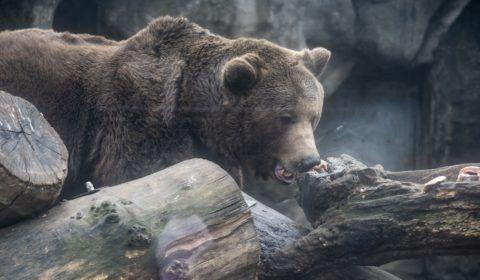 Budapest, 2019. február 2. A Fõvárosi Állat- és Növénykert barnamedvéje (Ursus arctos) 2019. február 2-án. A néphiedelem szerint, ha a medve ezen a napon kijön a barlangjából és nem látja az árnyékát, akkor nem lesz hosszú a tél. MTI/Mónus Márton